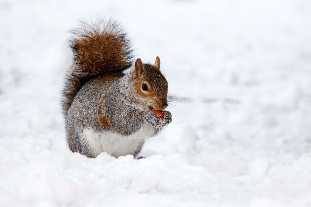 gun squirrel