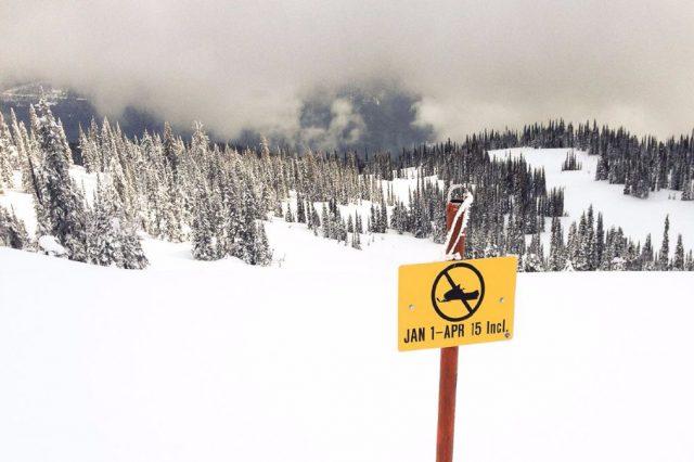 Everyone's an Expert: The Mountain Caribou Conundrum
